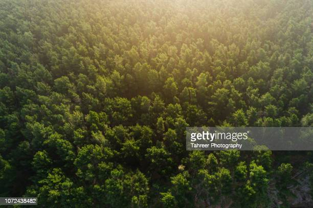 ariel view of pine forest - canopy stock pictures, royalty-free photos & images