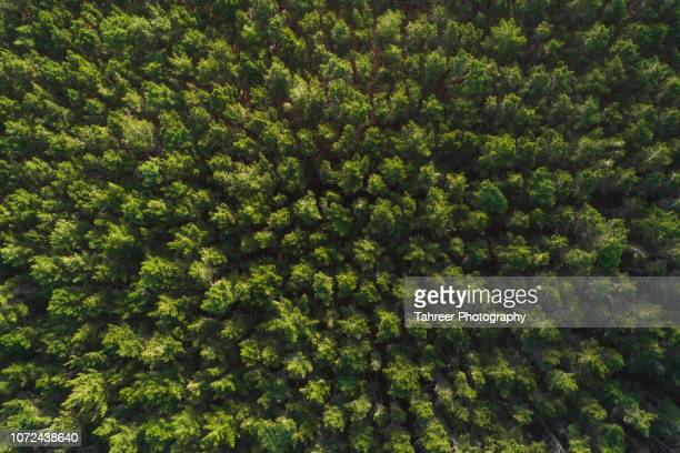 ariel view of thick pine forest - pine woodland stock pictures, royalty-free photos & images
