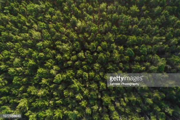 ariel view of thick pine forest - spesso foto e immagini stock