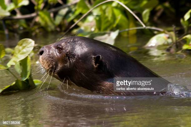 ariranha - giant otter stock pictures, royalty-free photos & images