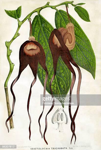 "Aristolochia Tricaudata, Chiapas . Illustration by P. Stroobant and lithograph by L. Stroobant from ""Revue de l'Horticulture Belge et Etrangère"",..."