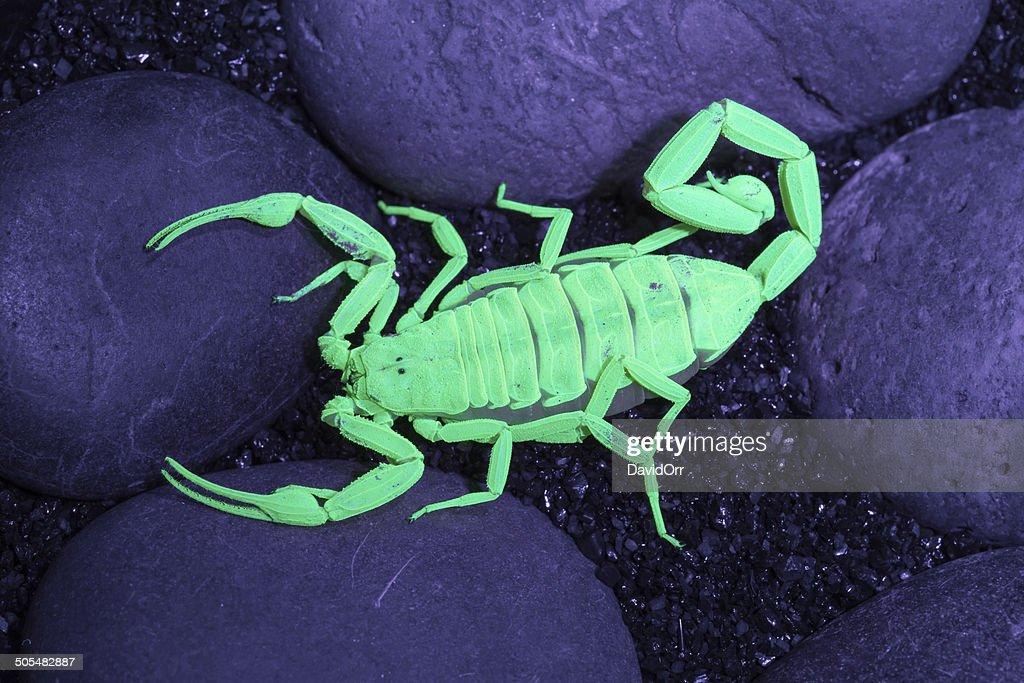 Arizona Bark Scorpion Stock Photo - Getty Images