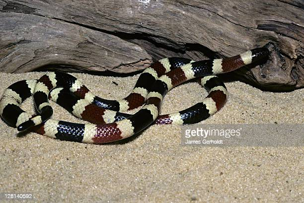 arizona coral snake, micruroides euryxanthus euryxanthus, pima county, arizona, usa - coral snake stock pictures, royalty-free photos & images