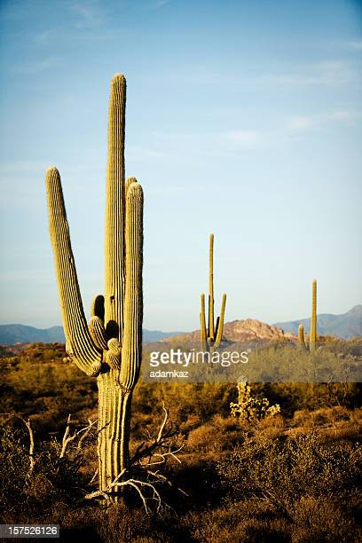 Arizona Desert Cactus Sagauro