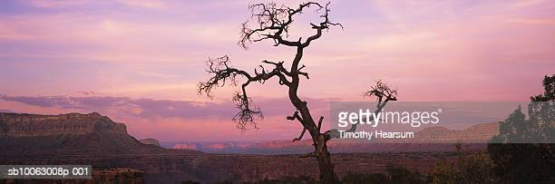 usa, arizona, grand canyon national park, mesas glowing at sunset, baretree in foreground - timothy hearsum stock pictures, royalty-free photos & images