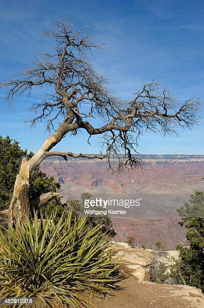 USA Arizona Grand Canyon National Park South Rim Near Mather Point Tree