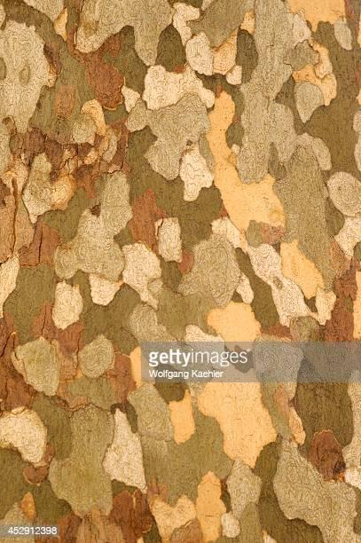 USA Arizona Montezuma Castle National Monument Arizona Sycamore Tree Closeup Of Bark