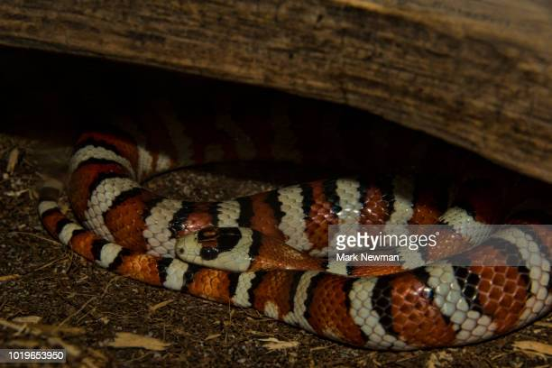 arizona mountain kingsnake - mark's stock pictures, royalty-free photos & images