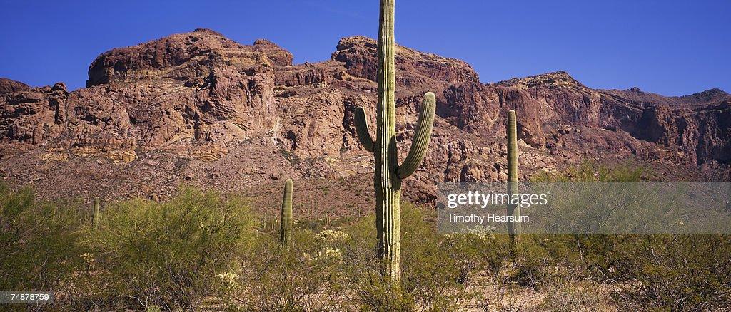 USA, Arizona, Saguaro Cactus National Monument, saguaro cactus and mesquite : Stock Photo