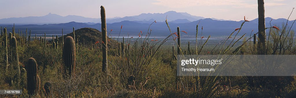 USA, Arizona, Saguaro Cactus National Monument, saguaro cactus and ocotillo : Stock Photo