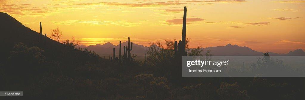 USA, Arizona, Saguaro Cactus National Monument, Saguaro cactus, sunset : Stock Photo