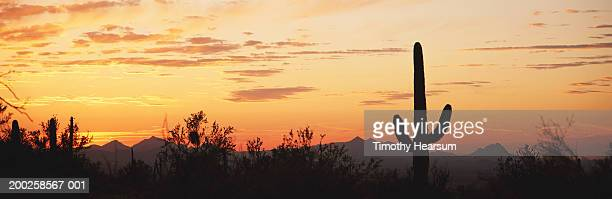 usa, arizona, saguaro national monument, sunset - timothy hearsum stock photos and pictures