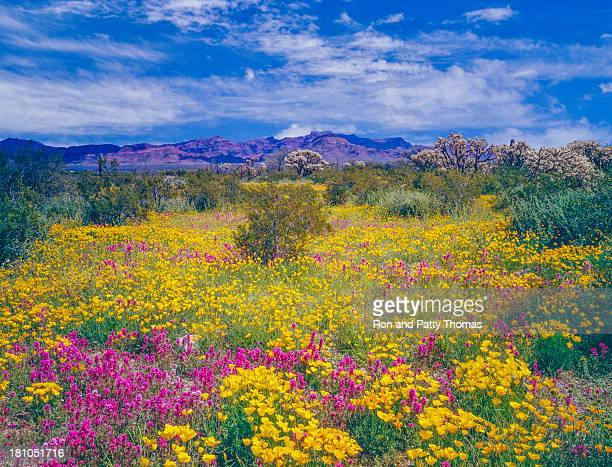 arizona spring wildflowers - phoenix arizona stock photos and pictures