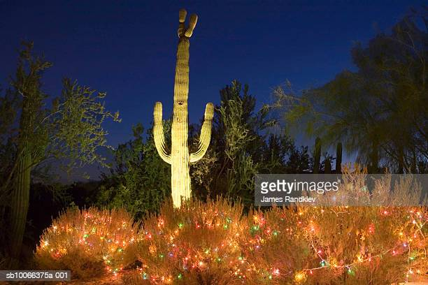 usa arizona tucson saguaro carnegiea gigantea in christmas decorations