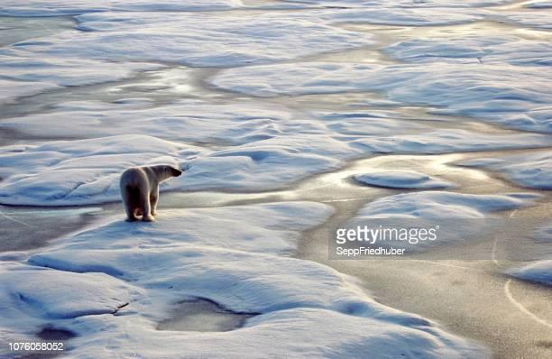 arktis eisbären - especies amenazadas fotografías e imágenes de stock