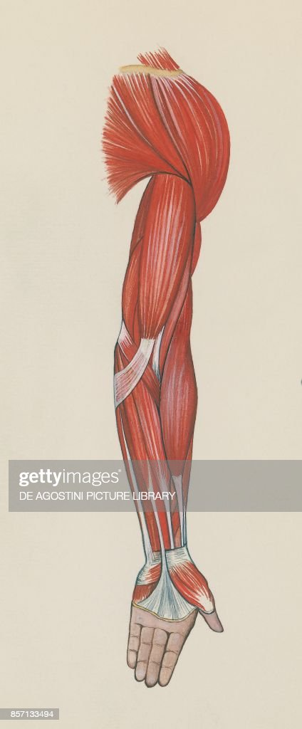 Arm muscles, human body, drawing Pictures | Getty Images
