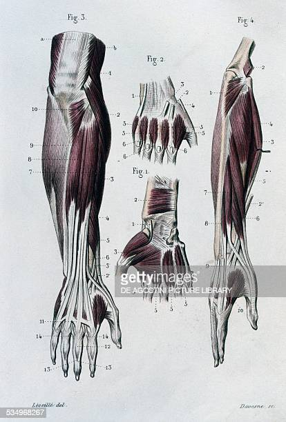Hand Anatomy Tendons Stock Photos and Pictures | Getty Images