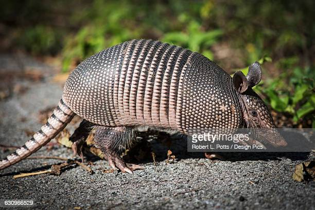 Armadillo crosses the trail