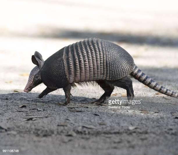 Armadillo Crossing The Road
