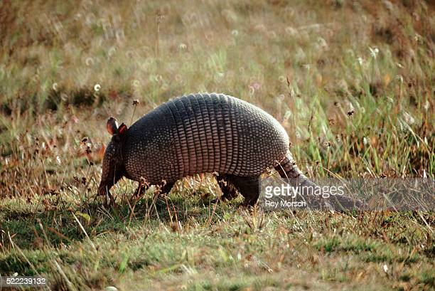 armadillo in everglades national park - armadillo stock pictures, royalty-free photos & images