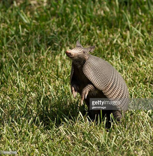 Armadillo in the air