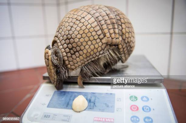 Armadillo 'Norman' sits on a scale during inventory at the Allwetterzoo in Muenster Germany 5 January 2018 The annual inventory at the beginning of...