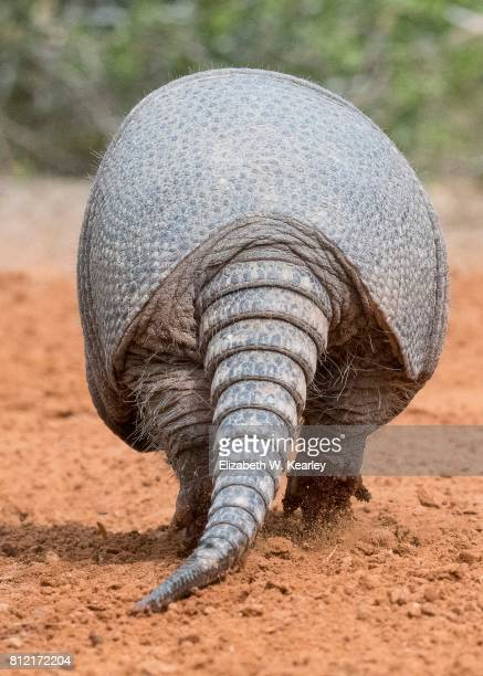 armadillo - armadillo stock pictures, royalty-free photos & images