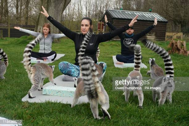 Armathwaite Hall hotel in Keswick Cumbria holds Lemoga classes with the lemurs from Lake District Wild Life Park mingling with the class to create a...