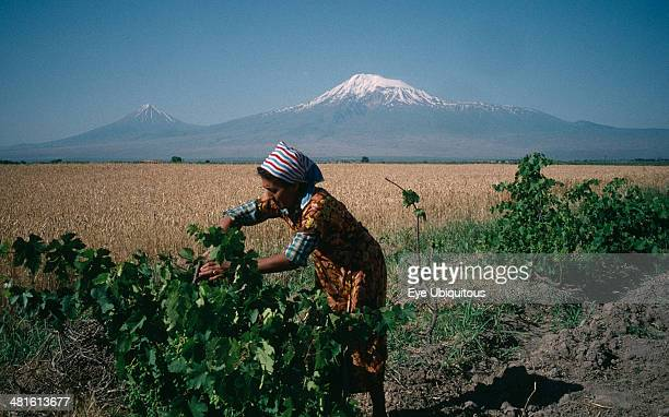 Armenia Agriculture Village woman working on vines in rural area with Mount Ararat behind