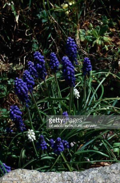 Armenian grape hyacinth or Garden Grape-hyacinth , Asparagaceae.