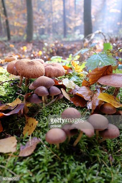 armillaria solidipes - baum stock pictures, royalty-free photos & images