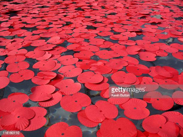 armistace - oriental poppy stock pictures, royalty-free photos & images
