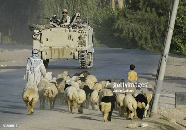 S Army 113A3 armored personnel carrier from Alpha Company 1st Engineer Battalion passes a herd of sheep while on patrol May 26 2004 in Ramadi Iraq...
