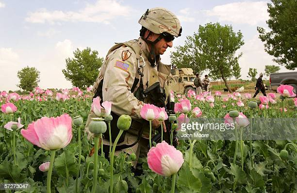 Army Col. Paul Calbos walks through an opium poppy field on April 1, 2006 near Lashkar Gah in Helmand province in southern Afghanistan. Colonel...