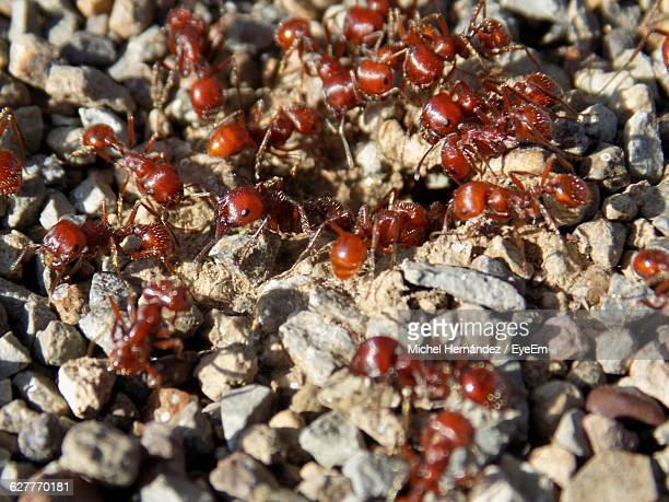 Army Of Ants On Field