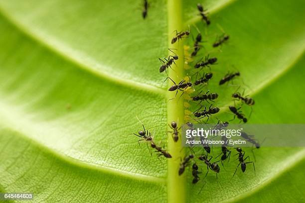 Army Of Ants On Leaf