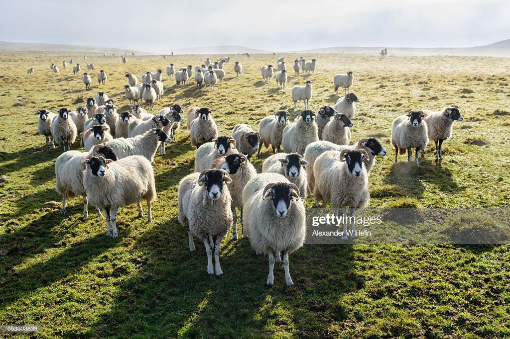 Army of sheep : Stock Photo