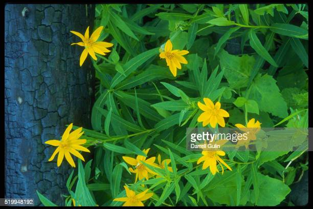 arnica and burnt lodgepole pine - 20th century stock pictures, royalty-free photos & images