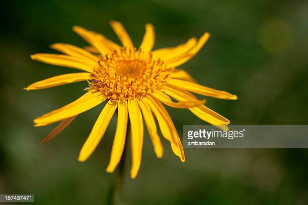 arnica fleur