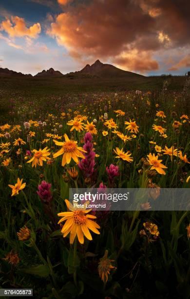 Arnica flowers and mountain peak