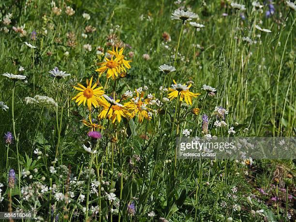 Arnica Flowers In Alpine Pasture, Swiss Lepontine Alps, Ticino, Southern Switzerland