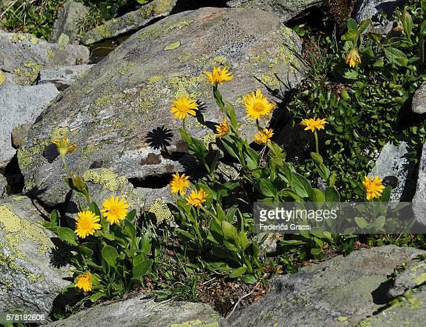 Arnica Flowers In The Lepontine Alps, Ticino, Switzerland