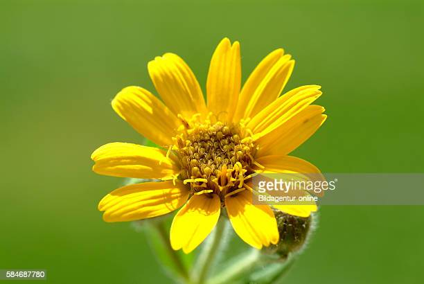 Arnica montana leopard's bane mountain tobacco and mountain arnica It has been used in herbal medicine for centuries