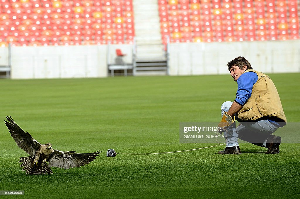 Arnold Slabbert, head of the Urban Raptor project, recovers his peregrine falcon on the pitch inside the WC2010 Nelson Mandela Bay soccer stadium on May 14, 2010 in Port Elizabeth. Raptors, such as wild falcons and hawk are used to chase away pigeons and other animals protecting the stadium enviroment.