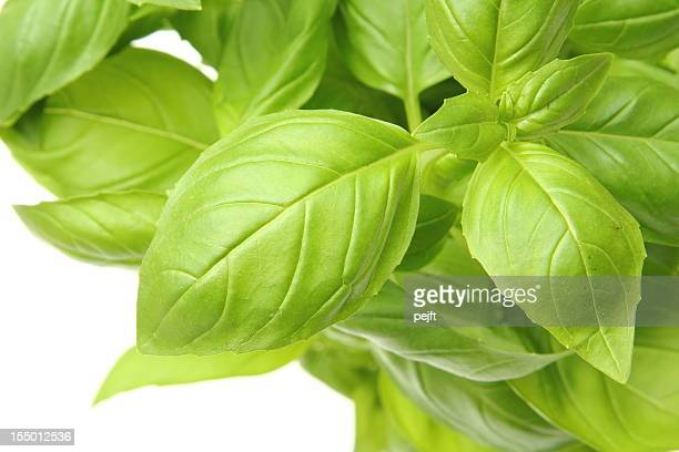 Aromatische Basilikum/basilicum grünen Kräutern