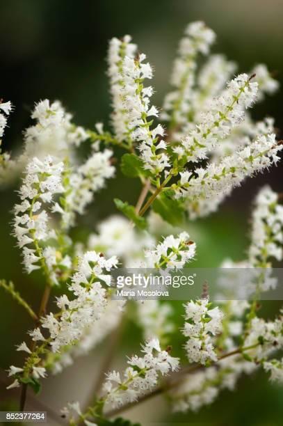 Aromatic Bush Tetradenia riparia