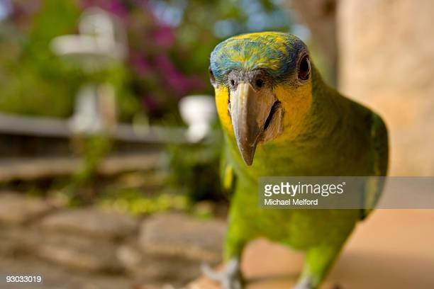 A parrot looks right in the lens of the camera.