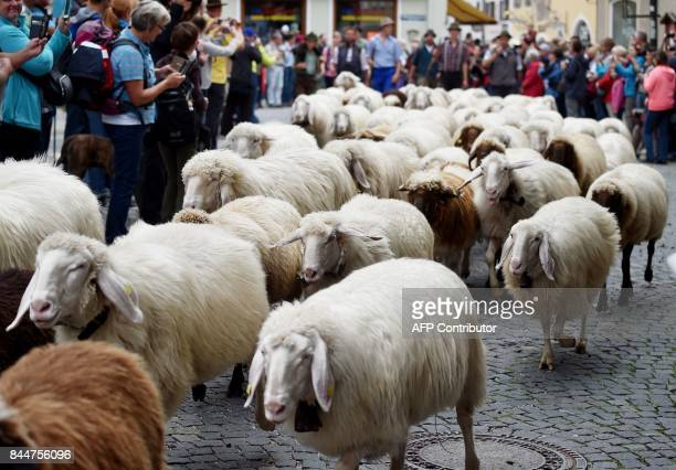 Around 500 mountain sheep walk through a street of Mittenwald, southern Germany, as the animals are brought down to the valley from their mountain...