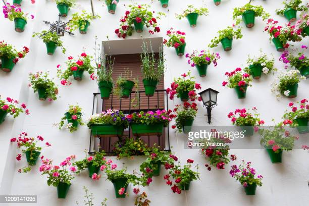 around fifty hanging flower pots adorn a white wall and surround a window during the cordoba spring flower festival in spain - スペイン コルドバ市 ストックフォトと画像