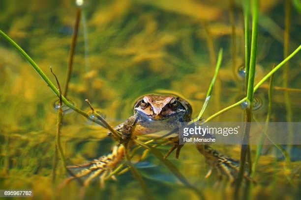 Autour de l'étang. La grenouille (Rana temporaria).